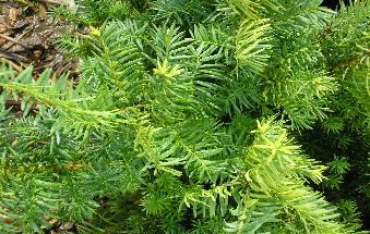 Bernardin S Landscaping Densi Yew