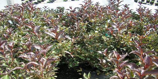 Bernardin S Landscaping Wine Amp Rose Weigela